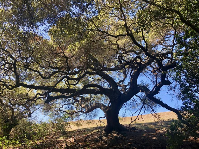 Magnificent Oak Tree in San Luis Obispo